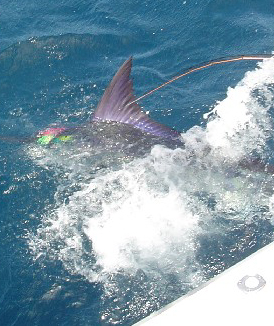 Giant Striped Marlin om Fly