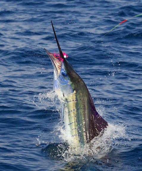 "Elsie's Sailfish on fly, to complete ""Grand Slam"", The Blue Marlin fly fishing School, vessel Dragin Fly, Los Suenos Costa Rica, Jake Jordan Photo"