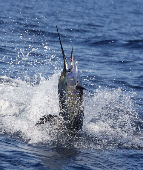Guatemalan Jumping Sailfish