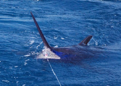 Blue Marlin on Fly By Jake Jordan