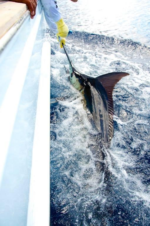 "Mikko releasing his first ever Blue Marlin on Fly, vessel ""Dragin Fly"", Los Suenos Costa Rica"