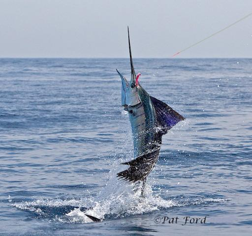 Sailfish jumping high - photo#1
