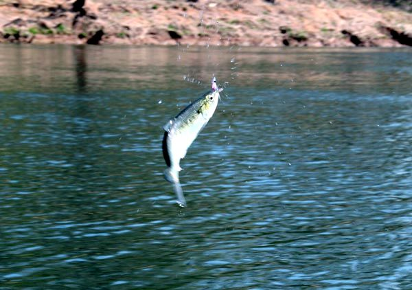 Jumping Hickory Shad on Fly