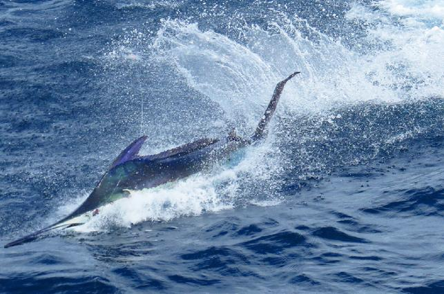George Maybee 5 Blue, 2 Striped, 1 Sailfish on Fly at my; Costa Rica Blue Marlin Fly Fishing School, August 2017