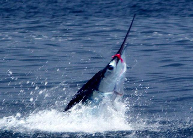 "240 pound Galapagos ""Marlin School"" Striped MArlin on fly!"