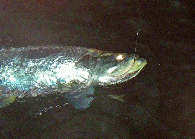 Night time fly fishing for Tarpon, April 30, 2018 Christian Pill Release, Vessel Fly Reel, Captain Jake Jordan